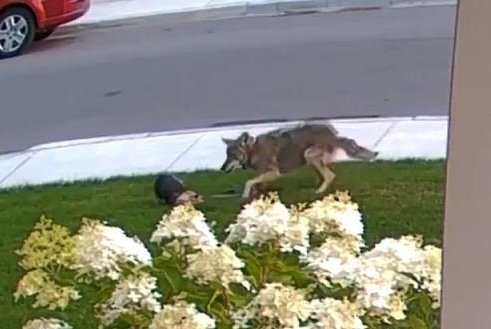 Yorkie protects 10-year-old Toronto girl from attacking coyote