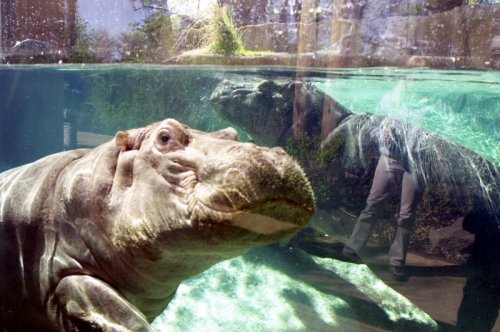 Pablo Escobar's hippos recognized as legal persons in the U.S.
