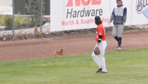 Cute Dog Goes On Field During College Baseball Game, Eventually Left