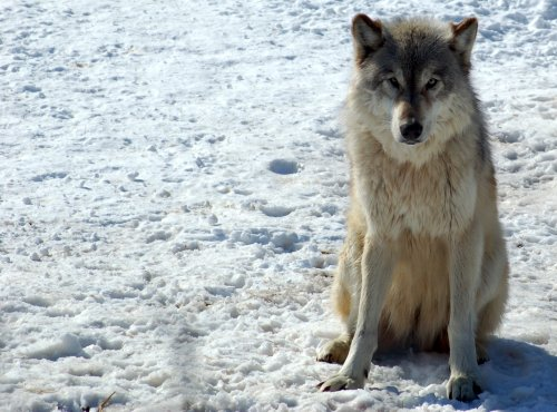 Judge Says State Wolf Hunt Law May Be Unconstitutional