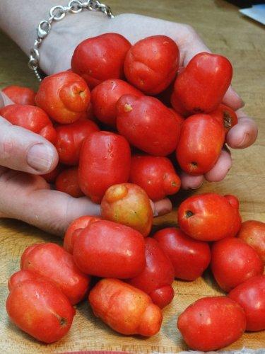 Red Jocote Mombin, Ciruela Huesito (spondias purpurea) – Urban Tropicals