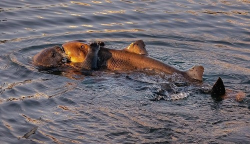 Sea otter catches shark in extremely rare species interaction