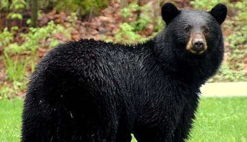 Black bear uses 'powerful exit strategy' when confronted by a grizzly