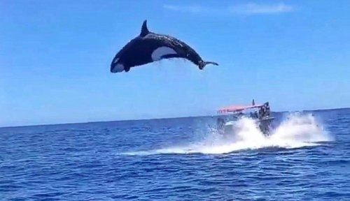 Watch: Orca's dramatic leap leaves boaters in awe