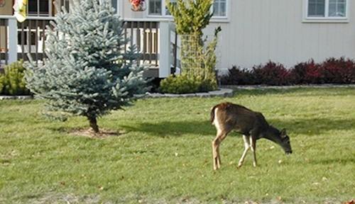 Oregon residents encountering aggressive deer