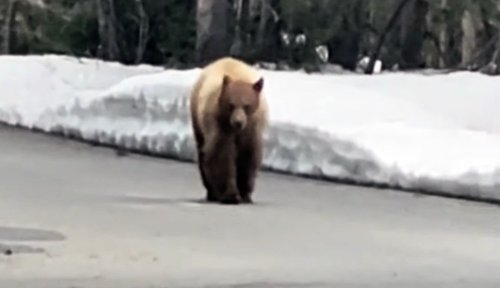 Runner pursued by hungry bear was ready for attack