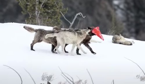 Cute pups from Yellowstone wolf pack disrupt traffic control