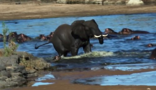 Raging elephant causes chaos at watering hole; baby hippo fights back