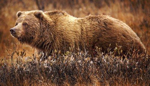 Two campers asleep in tent injured in 'quick and intense' bear attack