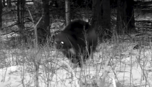 Yellowstone's rarest animal caught on trail camera for first time