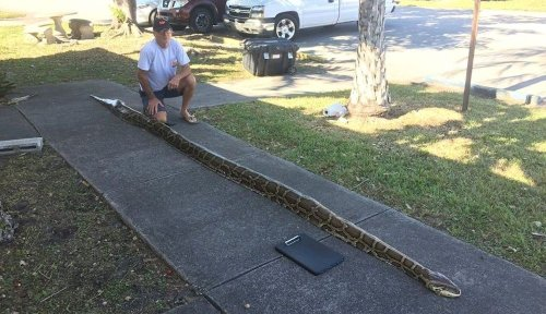 Python hunter captures a record 18-footer