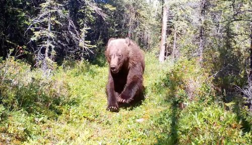 Grizzly bear charges within feet of trail-cam; 'Look at those claws!'