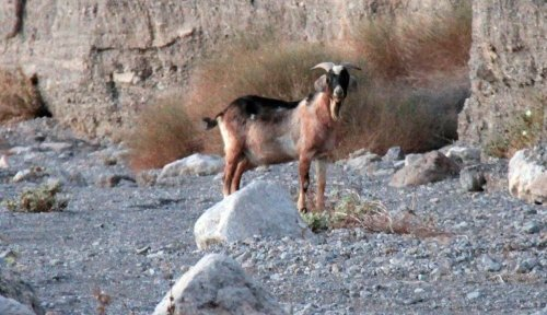 Goat appearance in Death Valley is a mystery, and a big concern