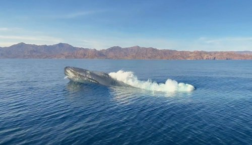 Watch: Blue whale 'explodes out of the sea like a submarine'