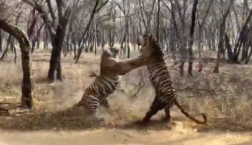 Tigers fight loudly in rare video; is this any way for sisters to act?