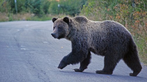 Grizzly bear killed after attack near Yellowstone National Park