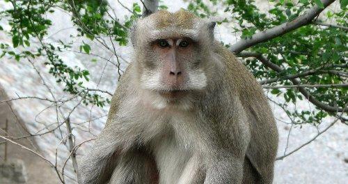 Des scientifiques parviennent à créer 132 embryons chimères homme-singe
