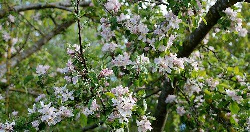 L'étrange pouvoir des pommiers en fleurs