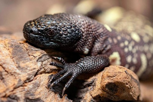 Endangered Venomous Mexican Lizards Hatch at Zoo in Poland