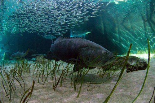 Florida Takes Step Toward the Catching of Goliath Grouper