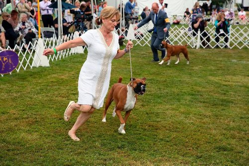 'It's Always Exciting': Top Dogs Vie for Westminster Title