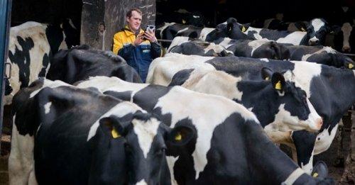 Cow computing? Scottish company creates wearable sensors for cows