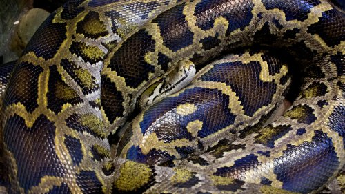 A Japanese Man Kept an 11-Foot Python as a Pet and It Just Went Missing