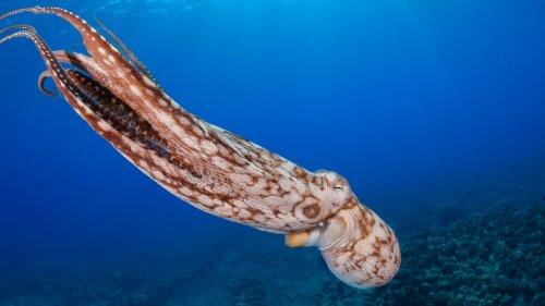 We kunnen veel over onszelf leren van het DNA van octopussen
