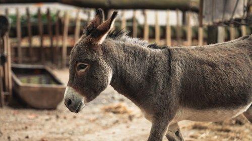 Donkey Meat is Used as Viagra in Andhra Pradesh