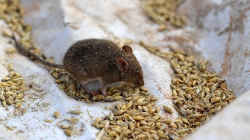 Millions of Mice Are Terrorizing Australia