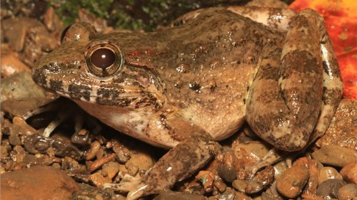 Check Out This 'Freaky' New Frog Species Found Hiding in Plain Sight
