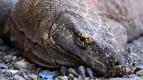 The Komodo Dragon Is Now an Endangered Species
