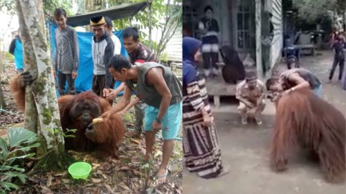 An Endangered Orangutan Wandered Into a Village and Hung Out with Humans for Days
