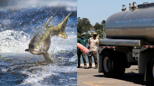 California's Drought Is So Bad They're Driving Salmon to the Ocean in Trucks