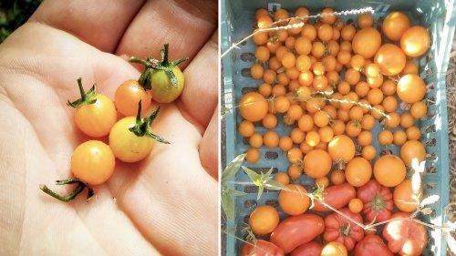 Un ragazzo di 24 anni in Italia sta coltivando il pomodoro più antico del mondo