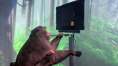 Elon Musk Brain Implant Company: Watch This Monkey Play Pong With Its Mind