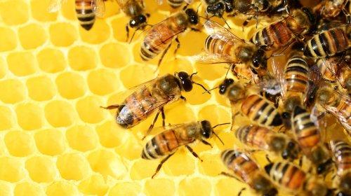 Die erste Impfung für Insekten könnte die Bienen dieser Welt retten