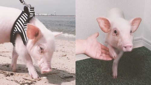 Millions Watched This YouTuber Raise a Pet Pig. Then He Shared His Dinner.