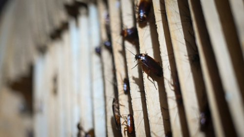 Debt Collectors Attacked Restaurant with Cockroaches. They Didn't Know Cops Were Eating There.