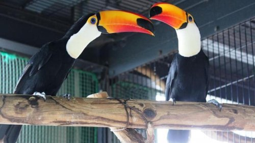 Un zoo japonais abrite un couple lesbien de toucans