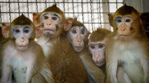 China Can't Breed Enough Lab Monkeys to Meet Surging Demand from Researchers