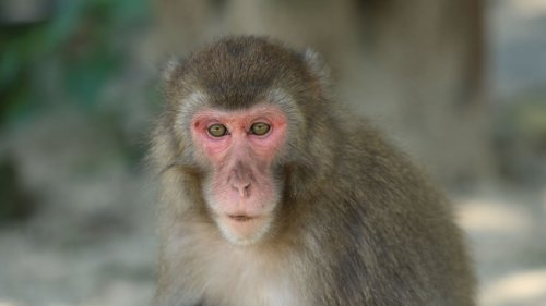 Japanese Monkey Shatters Glass Ceiling to Become First Female Boss in Zoo's History