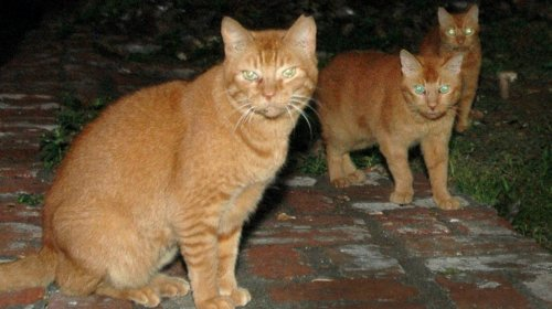 Hawaii's War on Feral Cats