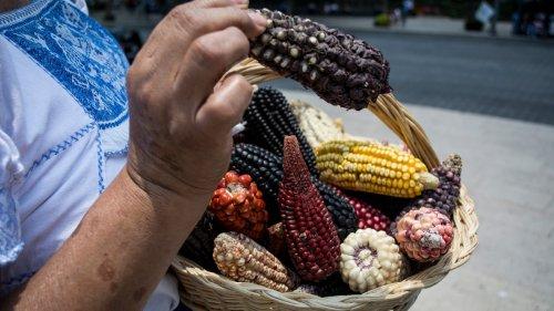 Upstart Corn Activists in Mexico Just Beat GMO Goliath Bayer-Monsanto