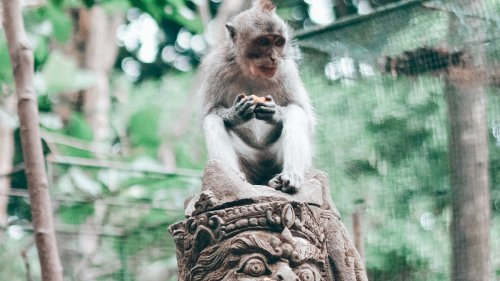 Bali's Thieving Monkeys Know Your Smartphone Is Valuable, Study Finds