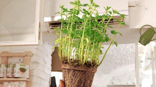Comment ne pas tuer vos herbes aromatiques fraîchement achetées