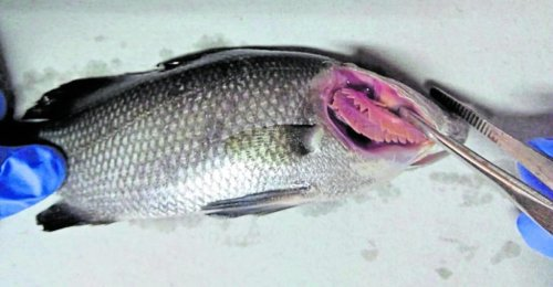 First detected in Japanese cultured Red Sea Bream Farm in 1990s