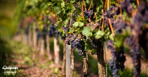 VinePair Podcast: Are Hybrid Vines the Future of Wine?