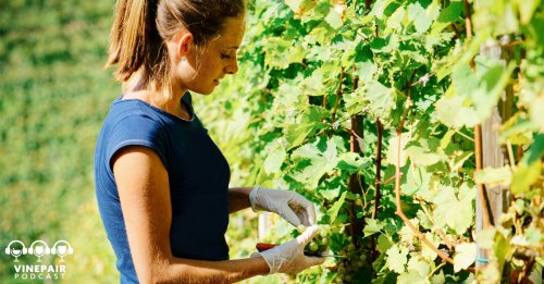 VinePair Podcast: Does Napa Realize It Has a Labor Crisis?