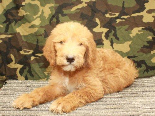 Labradoodle (Copy) (Copy) | VIP Puppies